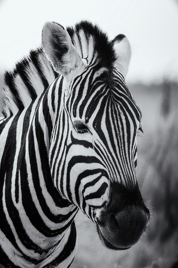 Portrait of a Plains Zebra bw by Belinda Greb
