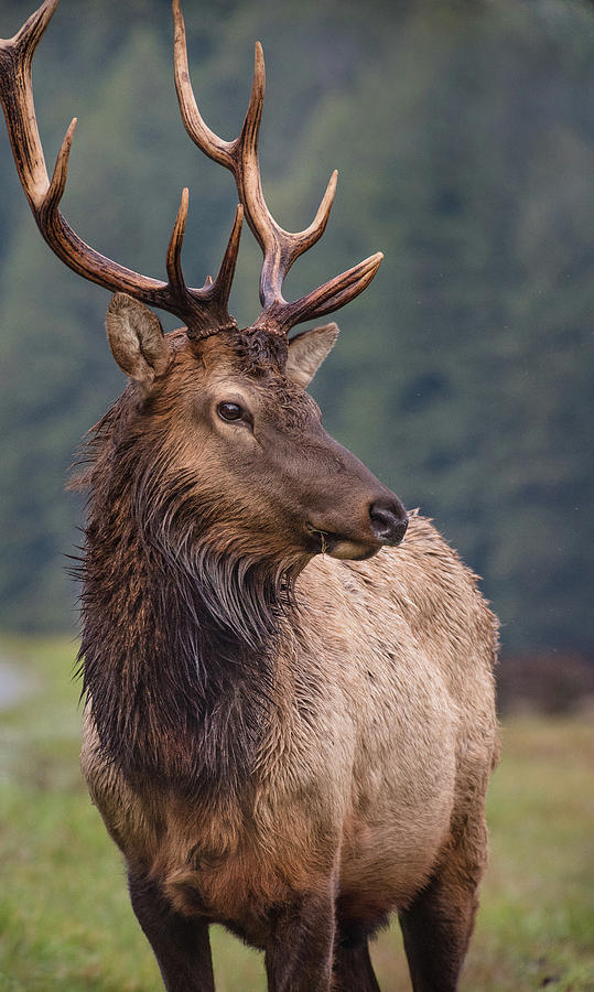 Prairie Creek Redwoods State Park Photograph - Portrait of a Proud Bull Elk by Greg Nyquist