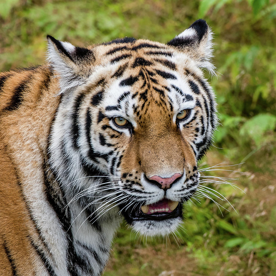 Portrait Of A Siberian Tiger Or Amur Tiger Looking At You Photograph