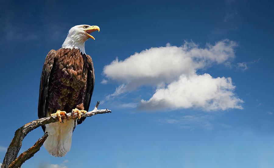Portrait Of An Eagle Photograph