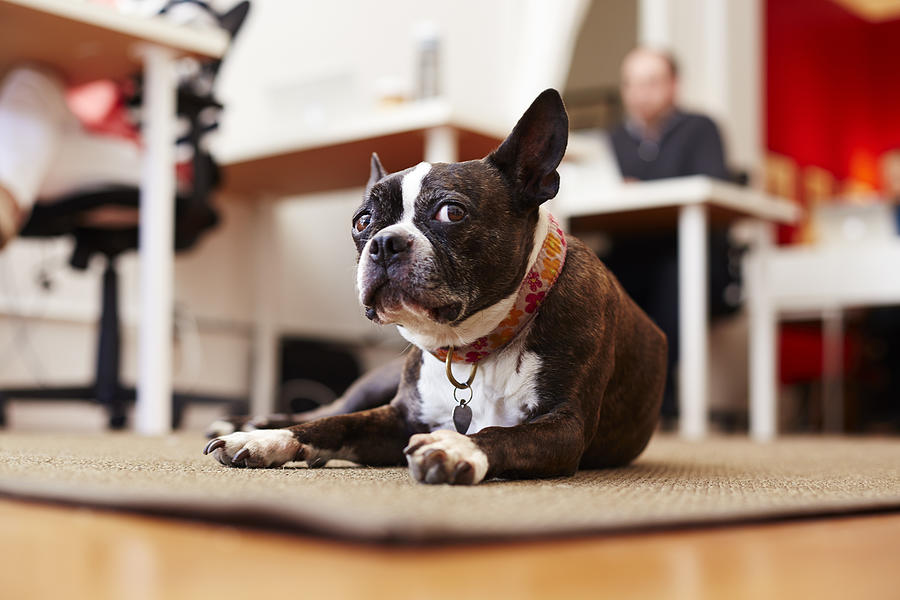 Portrait of curious dog lying on rug in an office Photograph by Seth K. Hughes