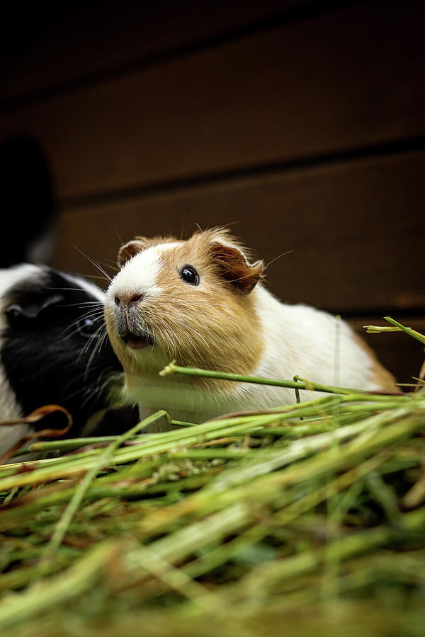 Portrait Of Domestic Cavy Sits In Grass Photograph