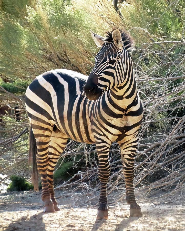 Posing Zebra Photograph