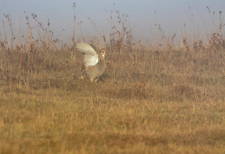 Prairie Chicken 2019-5 by Thomas Young
