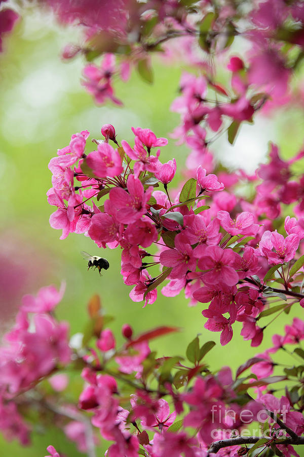 Prairie Fire Crabapple Tree In Spring Photograph