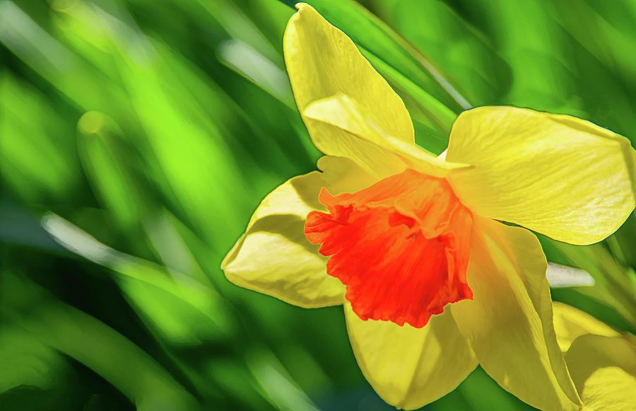Precocious Daffodil by Marcy Wielfaert