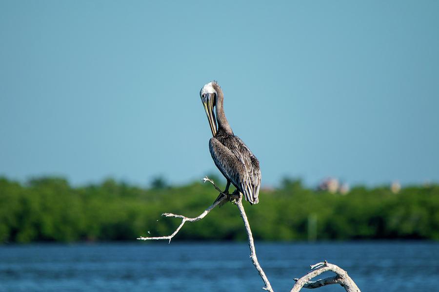 Preening Brown Pelican Photograph