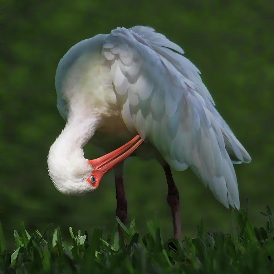 White Ibis Photograph - Preening White Ibis  by HH Photography of Florida