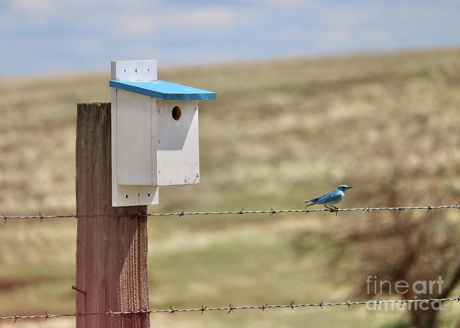Pretty Bickleton Bluebird On Wire Photograph