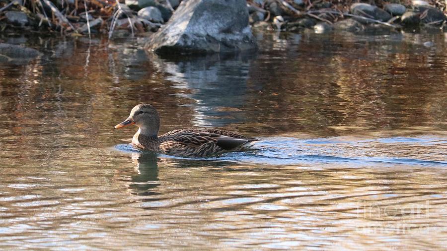Pretty Duck in Water by Carol Groenen