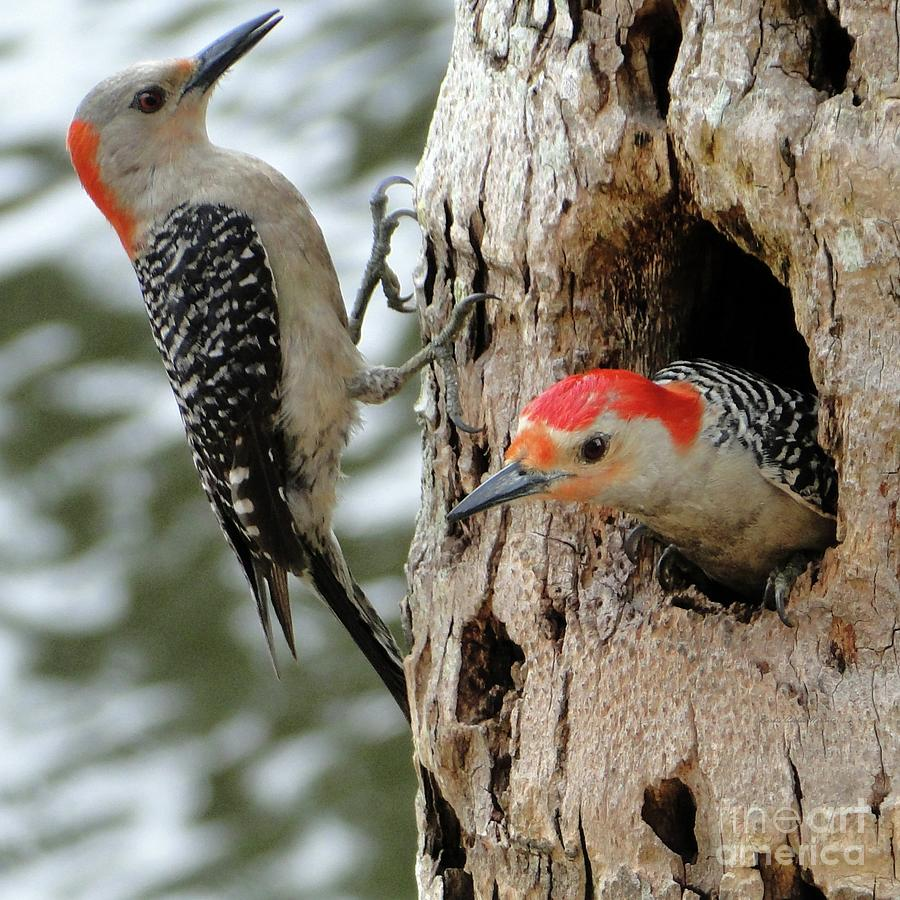 Pretty Nesting Couple Of Red Bellied Woodpeckers Photograph