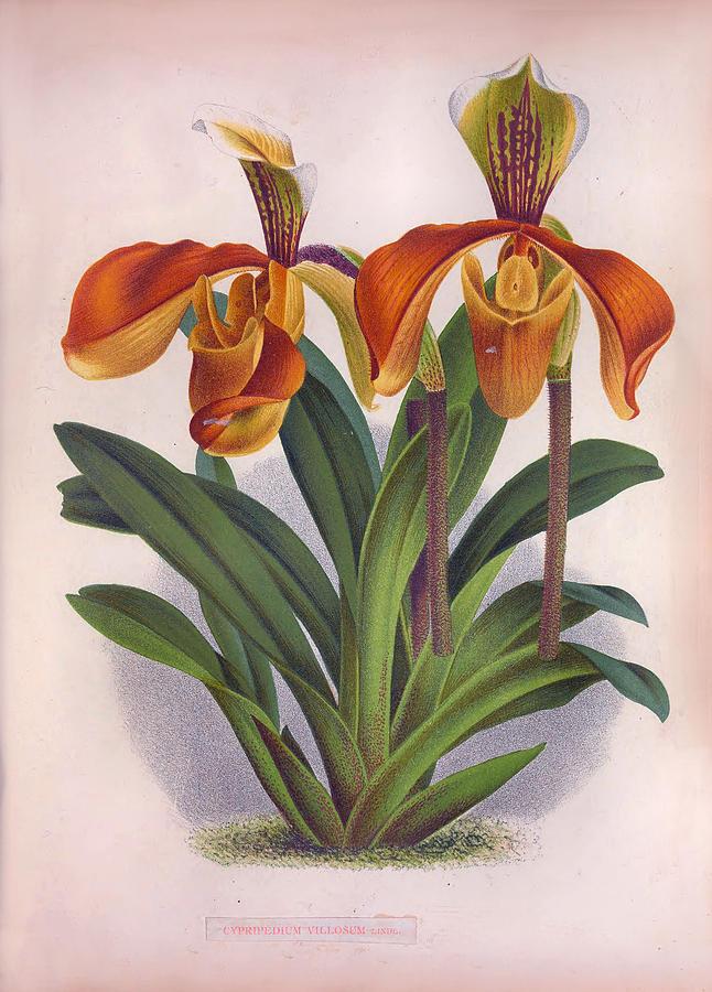 Pretty Orange Vintage Orchids Cypripedium Villosum by Jean Jules Linden