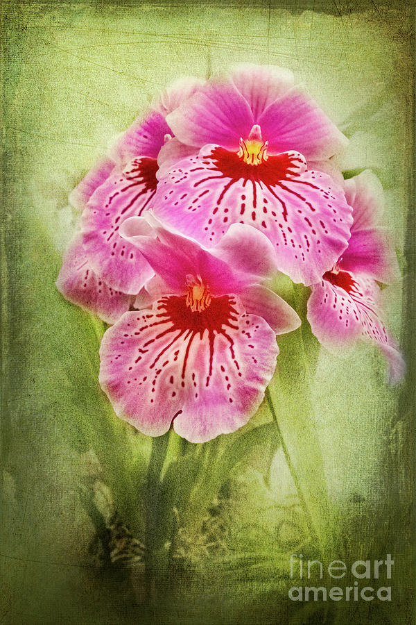 Pansy Photograph - Pretty Pansy Orchid by Marilyn Cornwell