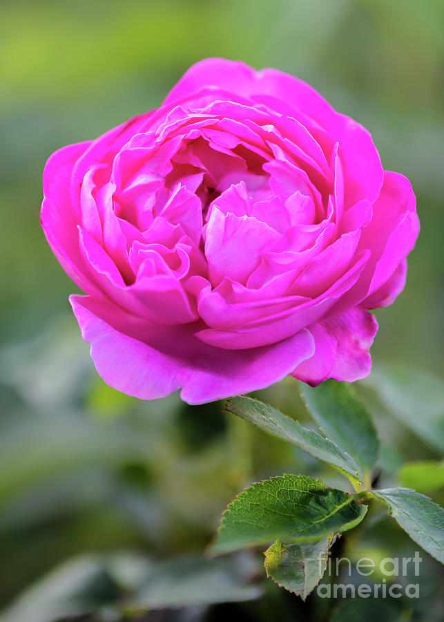 Pretty Pink Rose Blossom Photograph