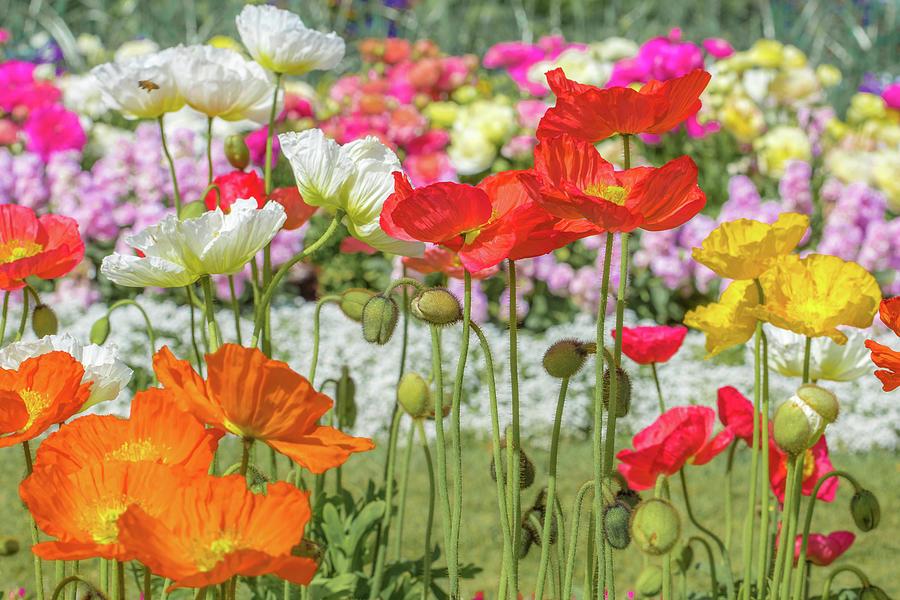 Pretty Poppies Photograph