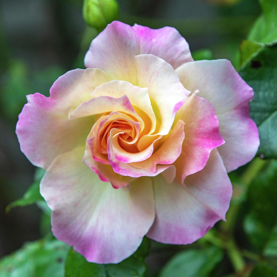 Pretty Rose Photograph