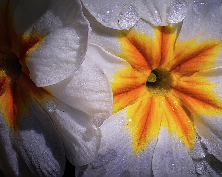 Primrose Photograph