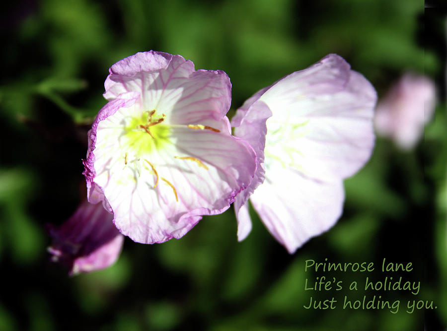 Flowers Photograph - Primrose Lane by John Lautermilch