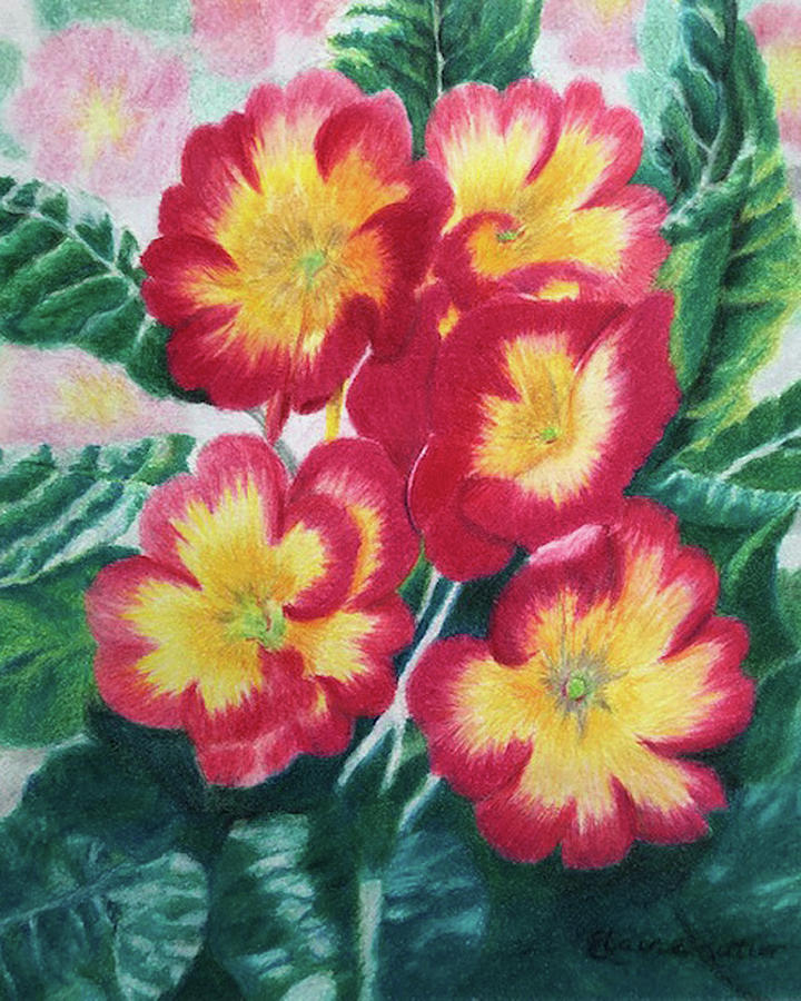 Primroses Drawing - Primrose by Elaine Rittler