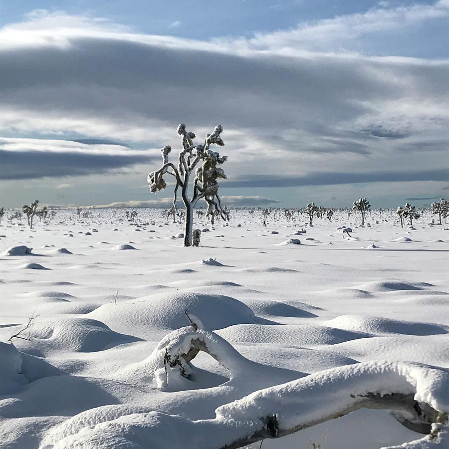 Prinstine Joshua Trees in Snow by Perry Hoffman