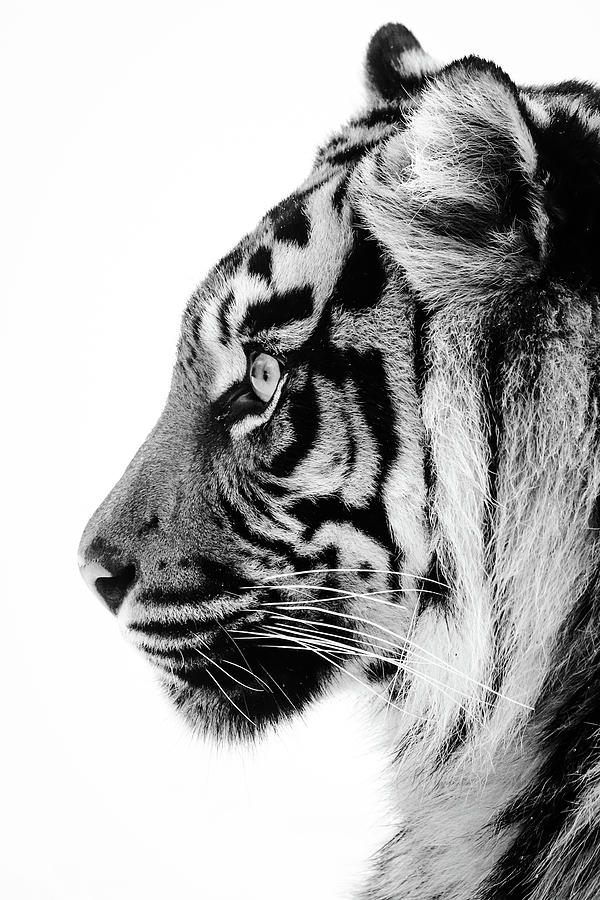 Profile Photograph - Profile of a tigress by RT Photography