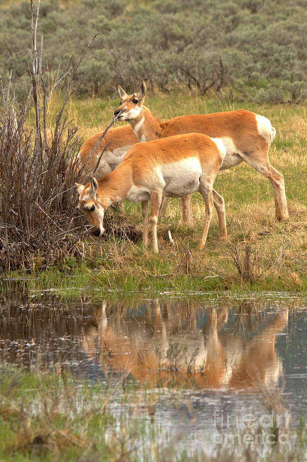 Pronghorn Water Reflections by Adam Jewell