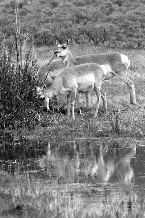 Pronghorn Water Reflections Black And White by Adam Jewell