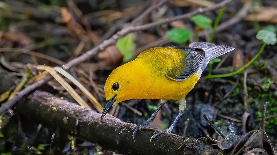 Prothonotary Warbler 2 Photograph by Larry Maras