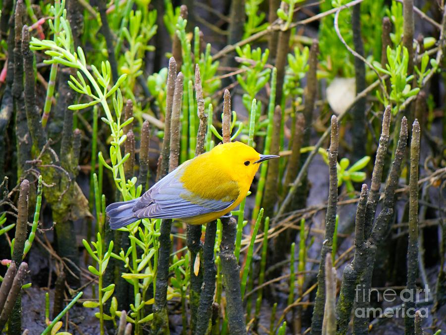 Prothonotary Warbler Photograph