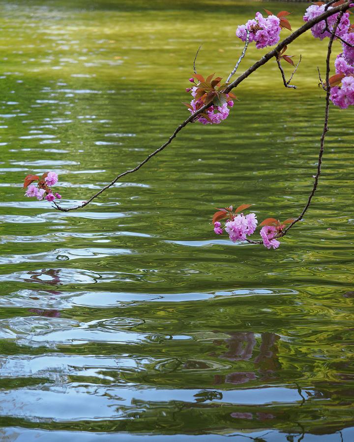 Prunus serulata Kanzan Photograph by Stephen Russell Shilling