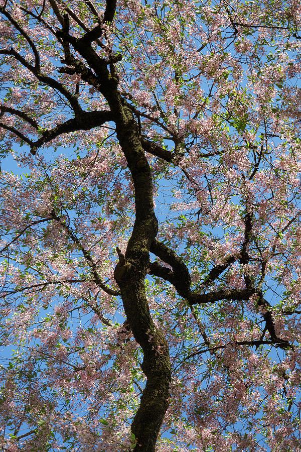 Prunus subhirtella Miq. Photograph by Stephen Russell Shilling