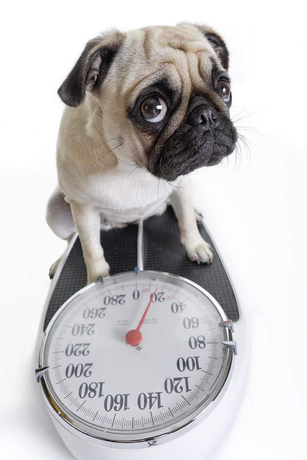Pug Looks Up as She Weighs Herself on Weight Scale Photograph by TerryJ
