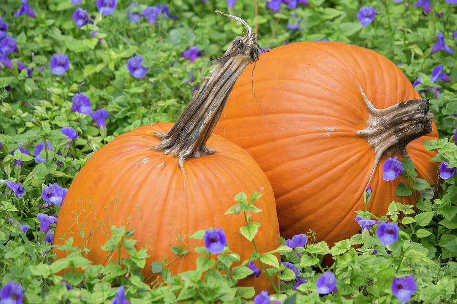 Pumpkin harvest by Kevin Banker