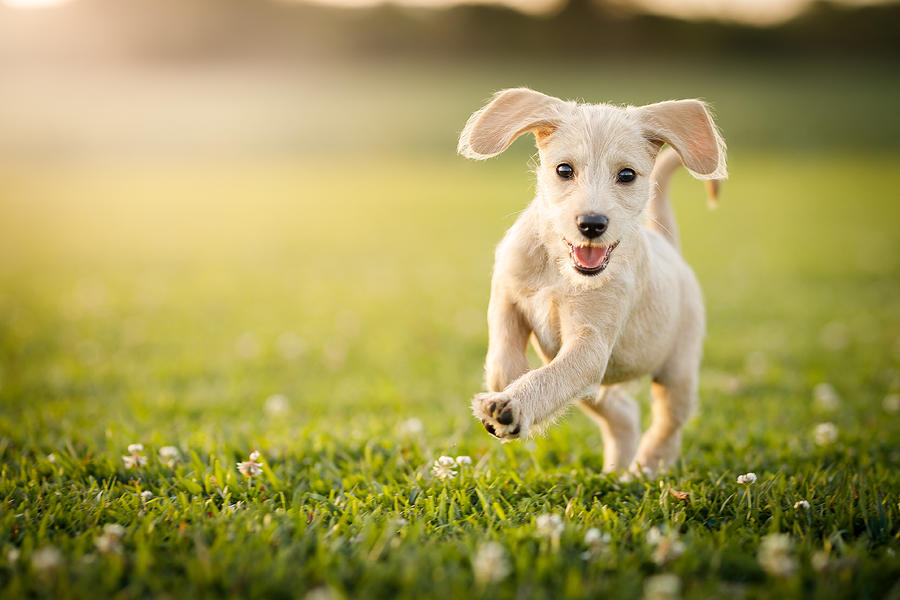Puppy running at the park Photograph by Capuski