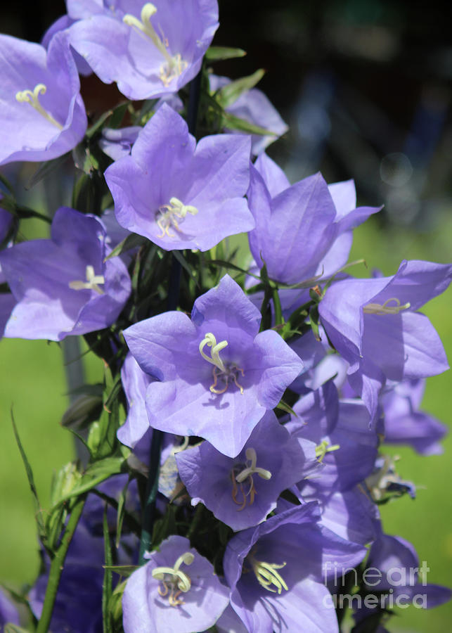 Purple Bell Flowers Photograph by Ross Coleman