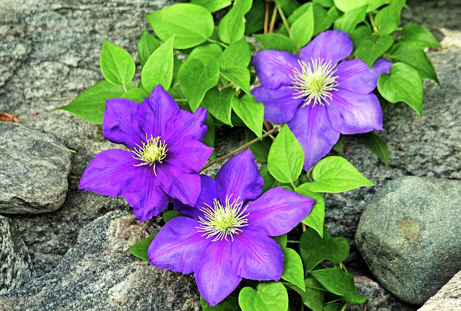 Purple Clematis On The Rocks Photograph