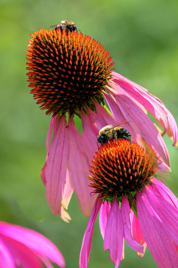 Purple Cone Flowers With Two Bumble Bees Photograph