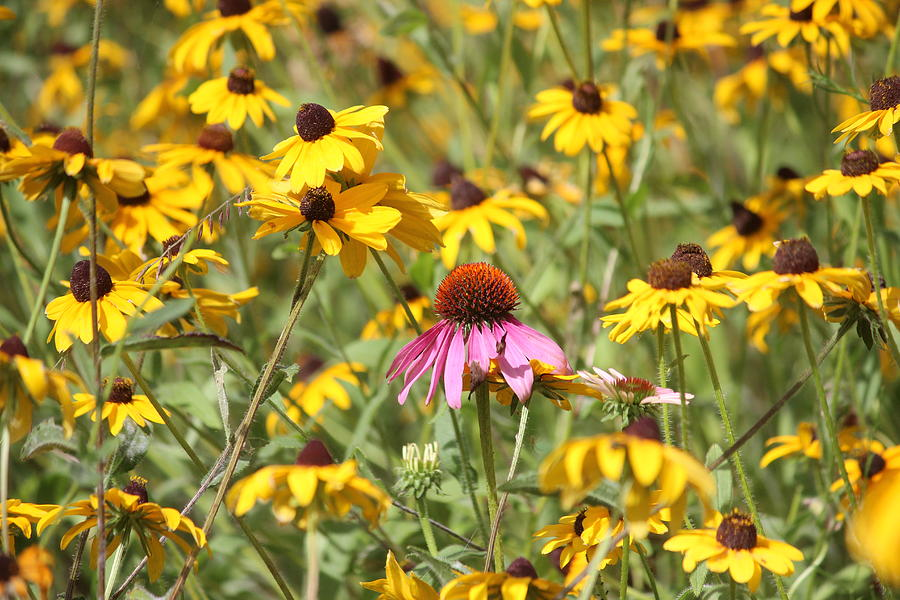 Purple Coneflower Photograph - Purple Coneflower In The Middle by Callen Harty