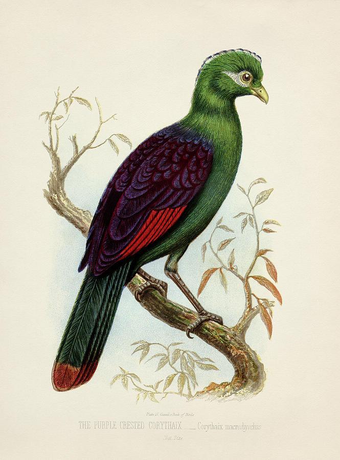Purple Crested Corythaix - Corythaix Macrorhyncus Painting
