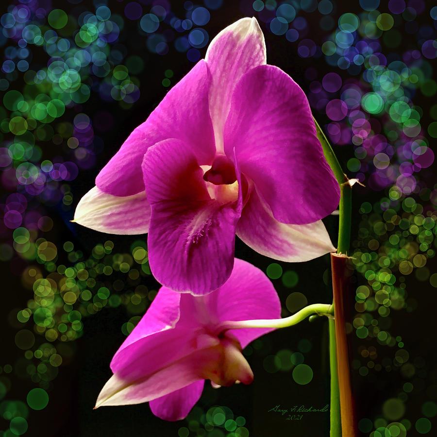 Purple Dendrobium Orchid Photograph