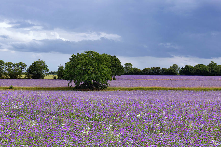 Purple Fields Photograph