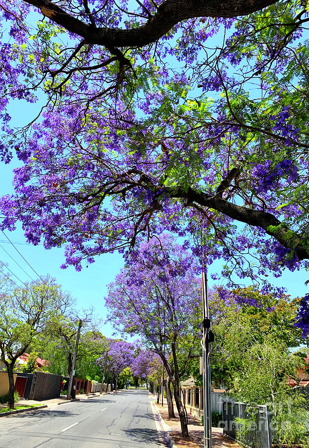 Purple Flower Jacaranda Tree Lined Street In Full Bloom Photograph By Milleflore Images