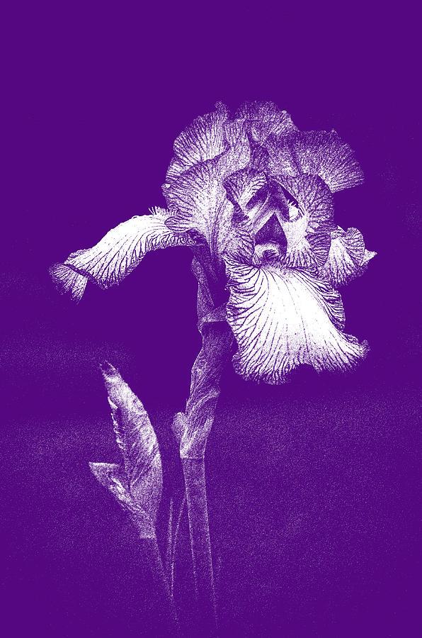 Purple Fringed Iris Photograph