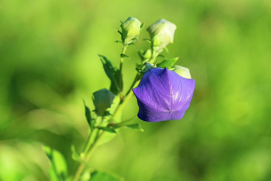 Purple Gem - Balloon Flower About To Bloom Photograph