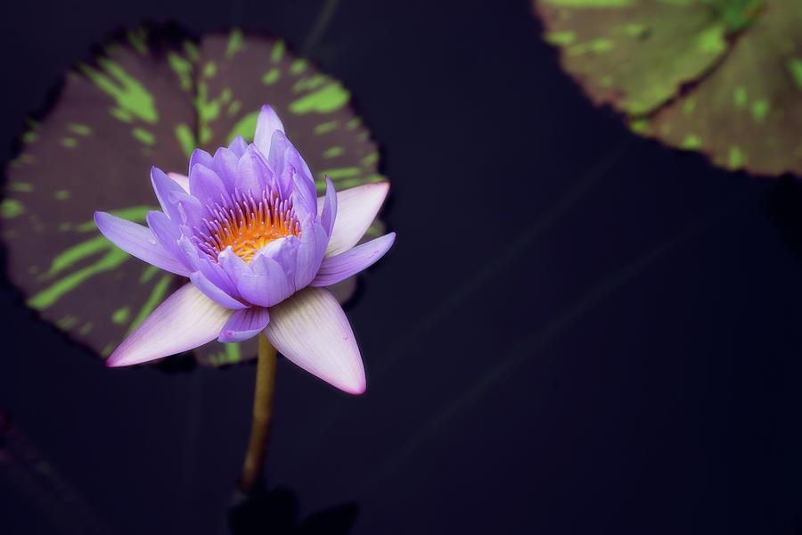 Purple lotus by Stacy Abbott