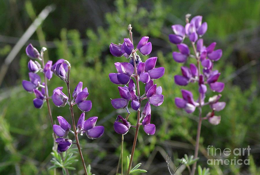 Purple Lupine Wildflowers Photograph