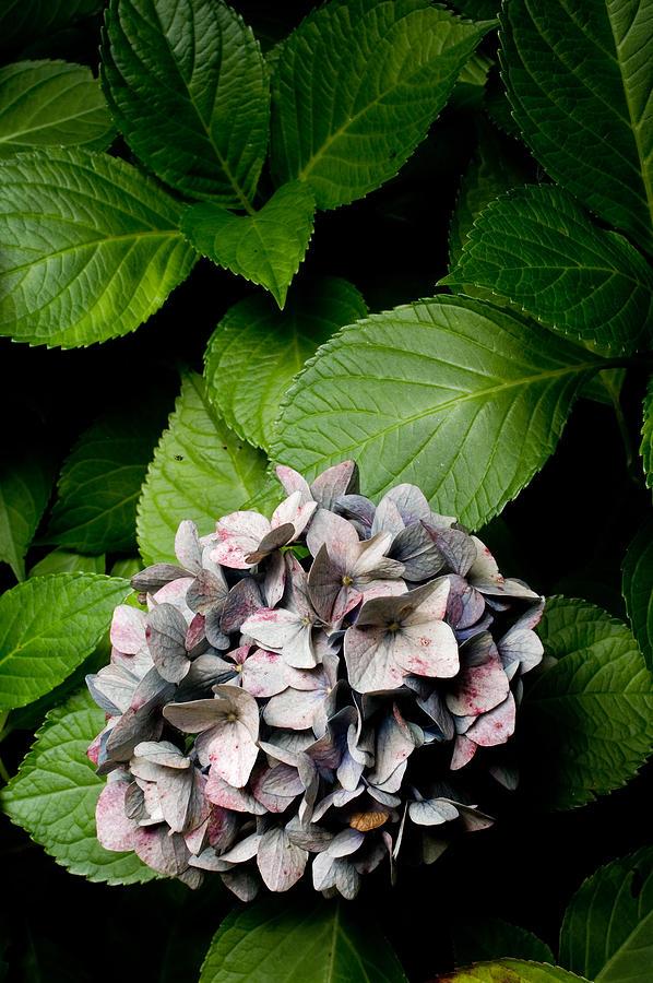 Purple Mophead Hydrangea Photograph