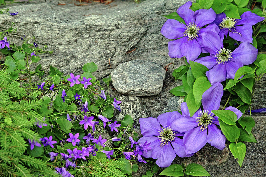Purple On The Rocks Photograph
