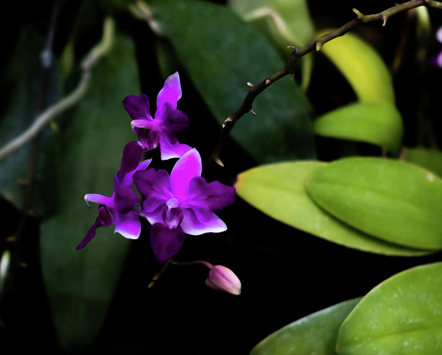 Peacock Photograph - Purple Orchid by Peyton Vaughn