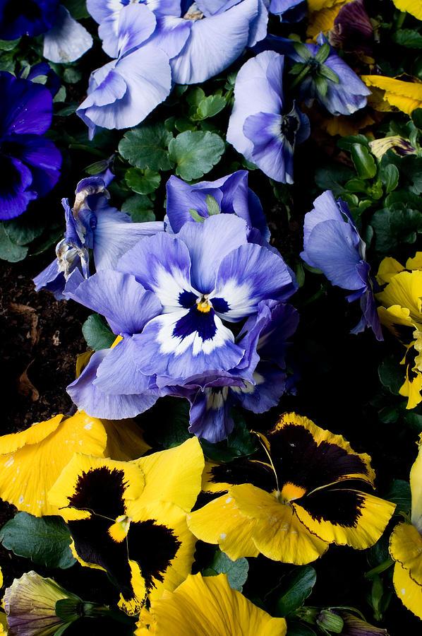 Purple Pensy Photograph